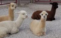 yayas alpaca farm cass county